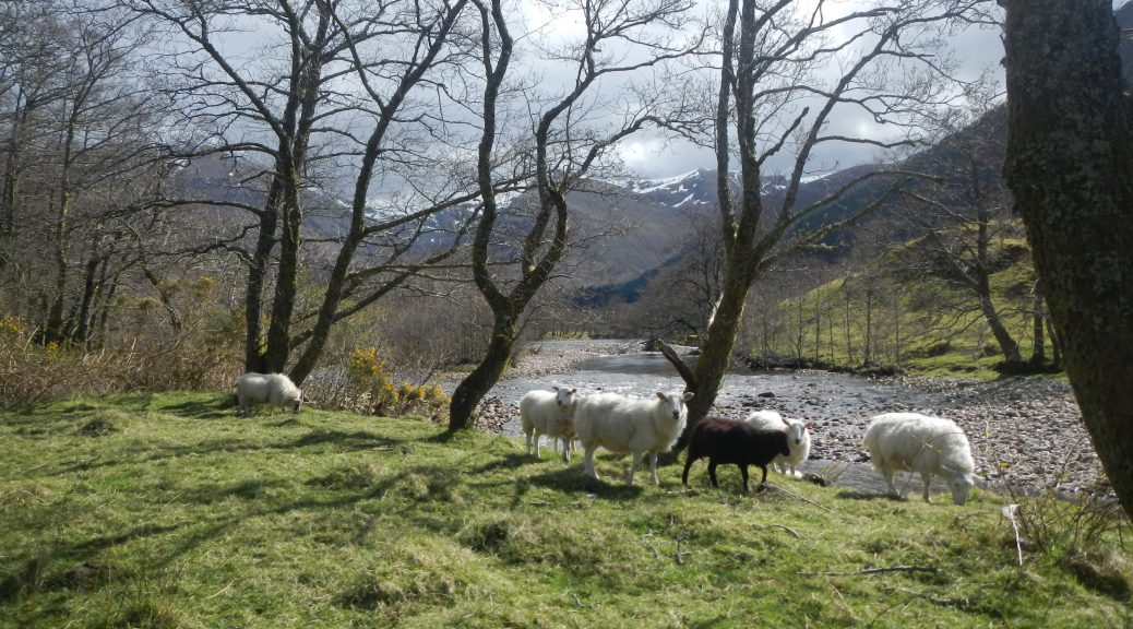 Sheep in front of a river