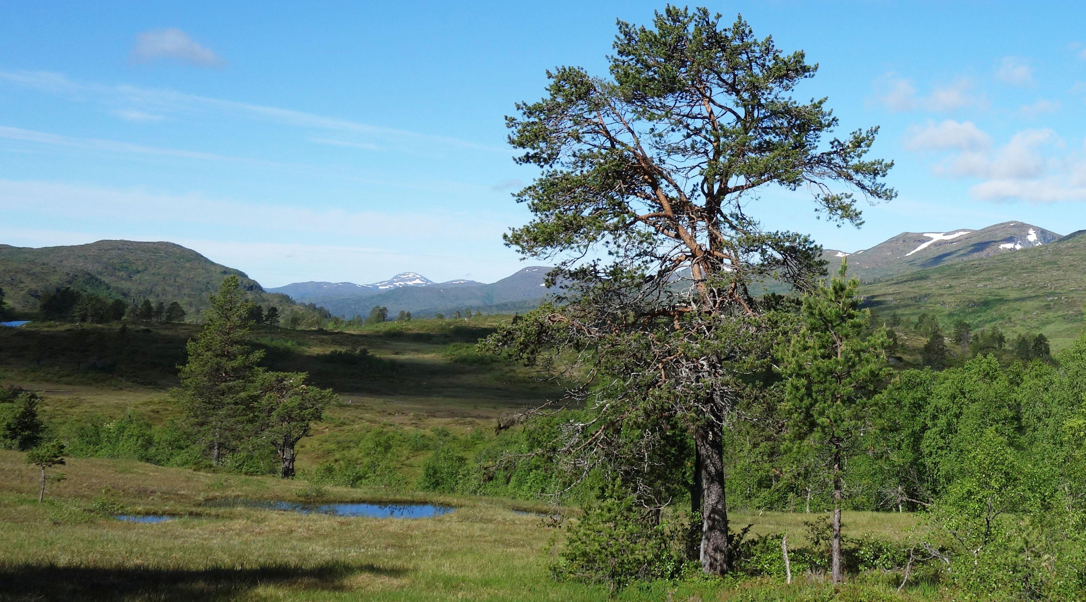 hügelige Graslandschaft mit vereinzelten Bäumen in Norwegen