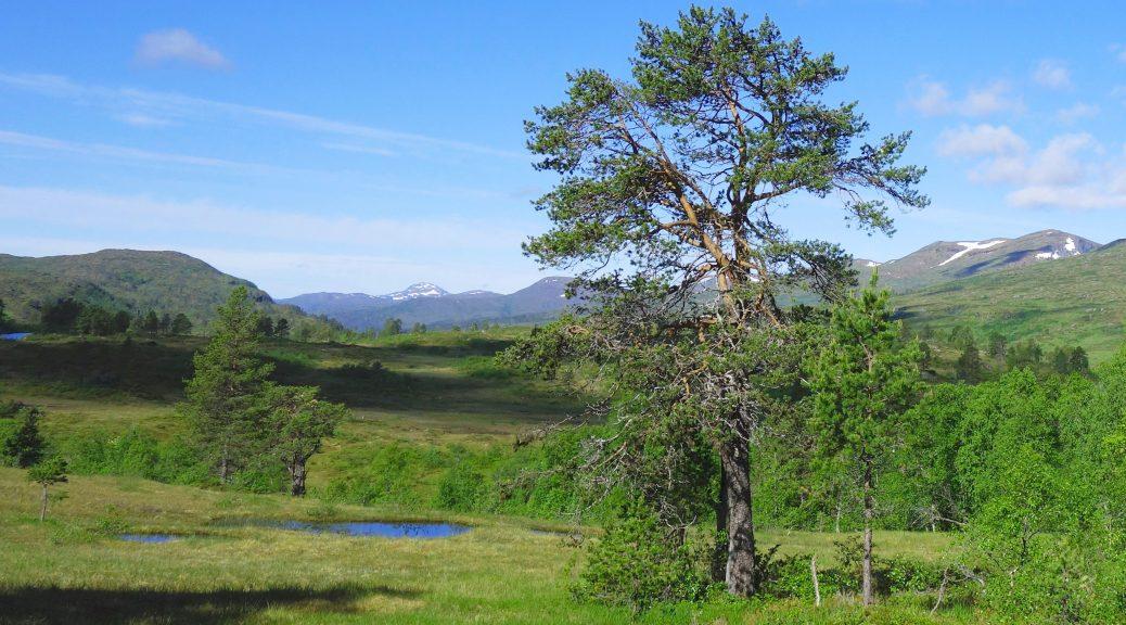 hügelige Graslandschaft mit vereinzelten Bäumen an der Fjordruta in Norwegen