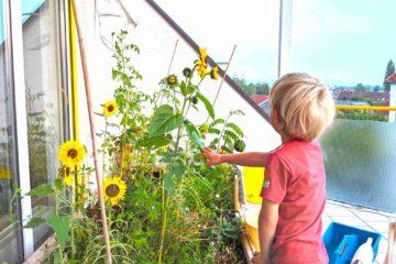 Kind betrachtet Sonnenblumen in Beet auf dem Balkon
