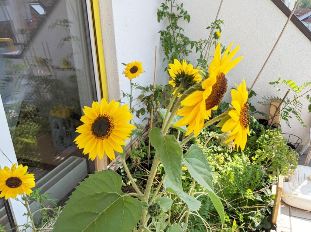 Blühende Sonnenblumen auf dem Balkon